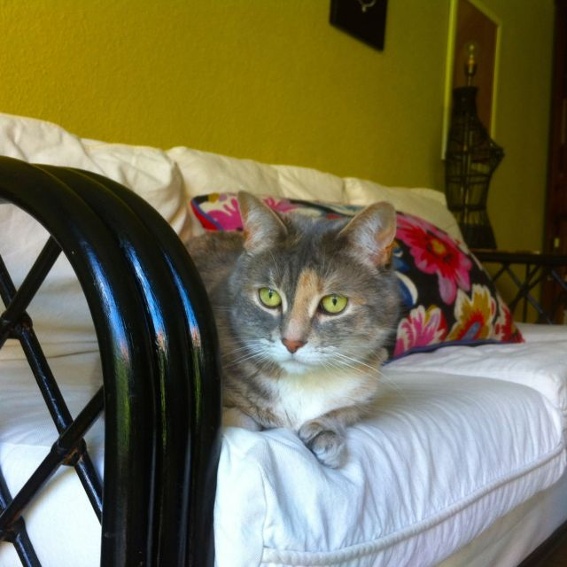One of the Diplocats, Boj, looking resplendent on our recently repainted couch.