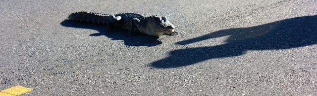 alligatorroad