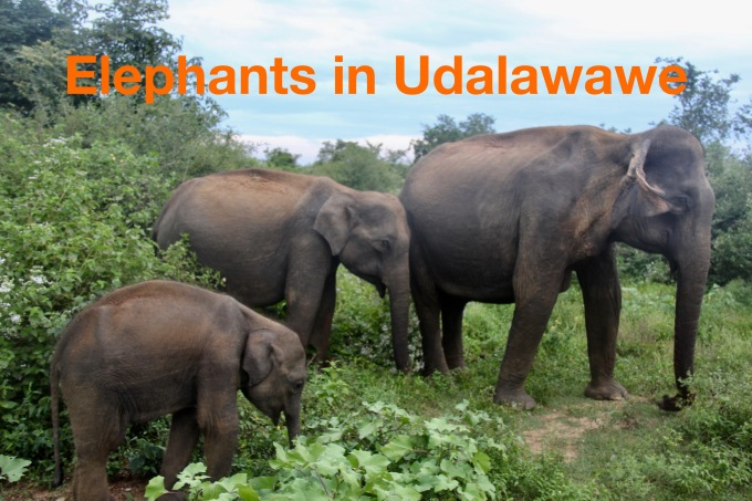 Elephants in Udawalawe.jpg