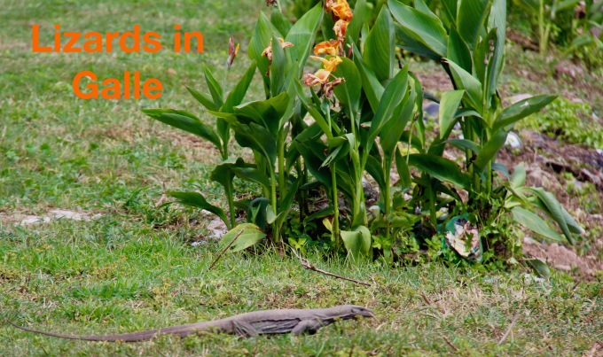 Lizards in Galle.jpg