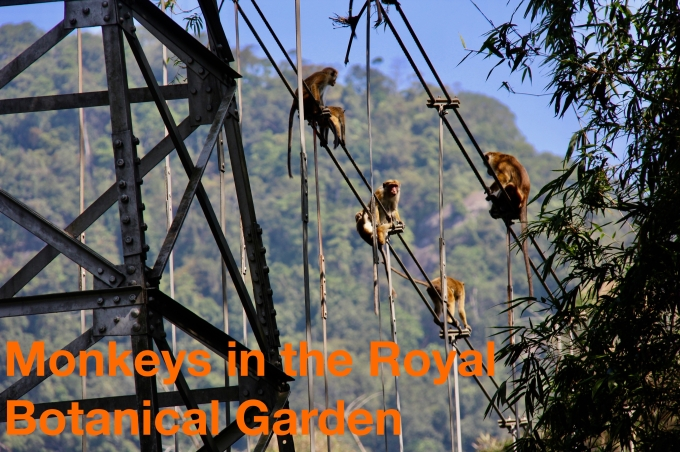 monkeys in the royal botanical garden